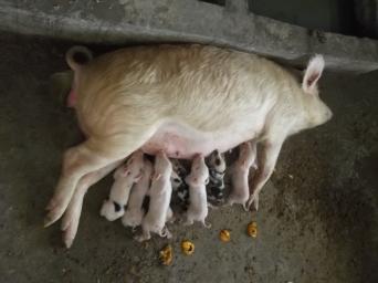 Cerdos mamando, eran tiempos de vacas (cerdas) gordas Foto: Lar São Jerónimo
