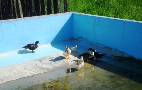Ducks in its pool (Photo: Lar São Jerónimo)